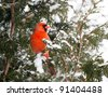 Northern Cardinal, male,   perched on a cedar hedge in the snow on Christmas eve day. - stock photo