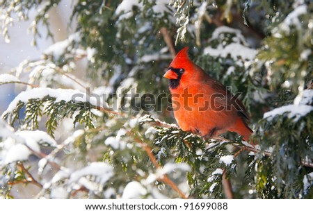 Northern Cardinal, male,  perched on a cedar hedge in the snow with  sparkling bokeh. - stock photo
