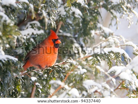 Northern Cardinal male perched on a cedar hedge in the snow with sparkling bokeh. - stock photo