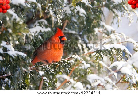 Northern Cardinal, male,  perched on a cedar hedge in the snow with sparkling bokeh, and red berries. - stock photo