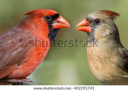 Northern Cardinal Mates for Life - stock photo