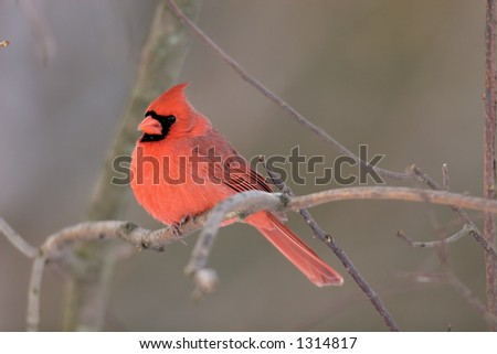 Northern Cardinal on a branch in fall/winter