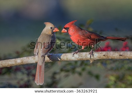 Northern Cardinal Pair in Late Evening - stock photo