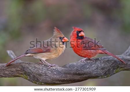 Northern Cardinal Pair on Branch - stock photo