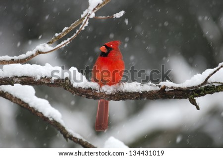 Northern Cardinal perched on a branch during a heavy winter snow storm - stock photo
