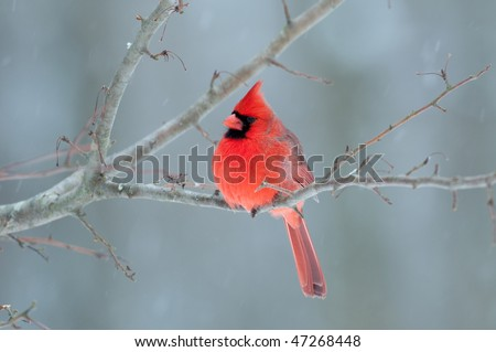 Northern cardinal perched on a branch during light winter snow - stock photo