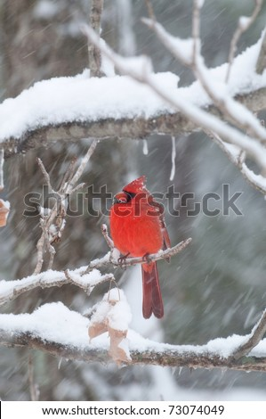 Northern cardinal sits perched on a snow covered branch following winter storm - stock photo