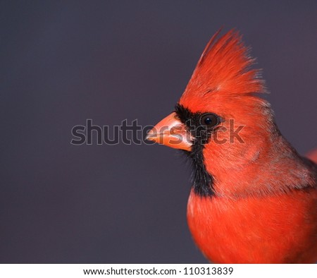 Northern Cardinal with crest erect, highly detailed portrait with a smooth grey background (it's the icy surface of a frozen pond)  at a Philadelphia, PA city park on the Delaware River waterfront - stock photo