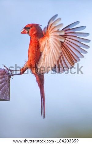 Northern Cardinal with Extended Wings - stock photo