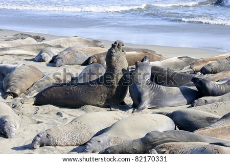 northern elephant seal, california