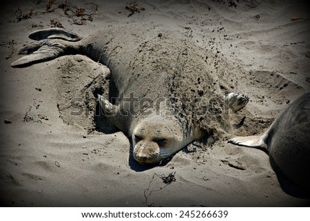 Northern elephant seal digging in the sand - stock photo