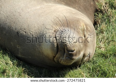 Northern elephant seal female, California - stock photo