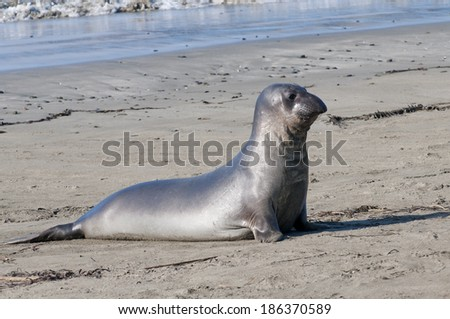 northern elephant seal, [Mirounga angustirostris]