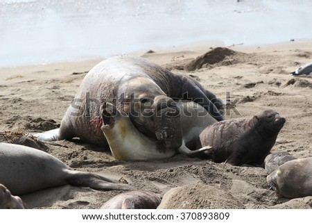 Northern Elephant Seal (Mirounga angustirostris) male mating with female, Piedras Blancas, California, USA