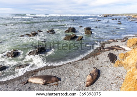 Northern Elephant Seals basking / sleeping in the sun with aquamarine seas at a rocky beach, on the rugged Big Sur coastline, traveling the Big Sur Highway, near Cambria, CA. - stock photo