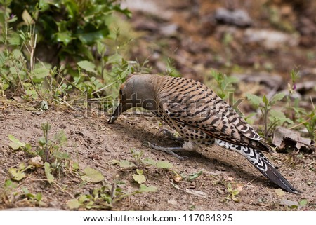 Northern Flicker (Colaptes auratus) is pecking in the ground.