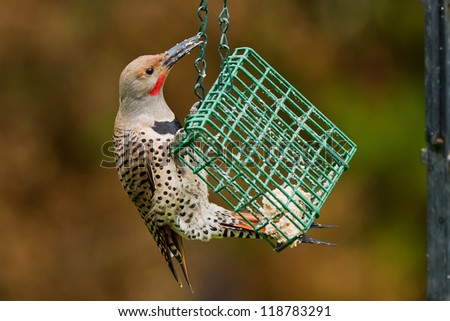 Northern Flicker is a medium-sized member of the woodpecker family.  Northern Flicker hangs on a suet bird feeder. - stock photo