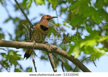 Northern Flicker Male(yellow shafted) Male - stock photo