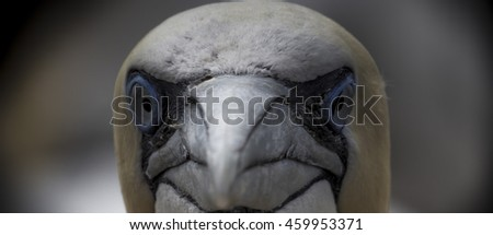 Northern Gannet Big Close Up, Bass Rock, Scotland
