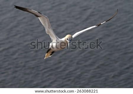 northern gannet flying - stock photo