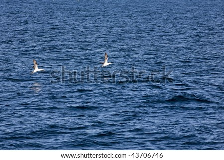 Northern gannet flying over the sea
