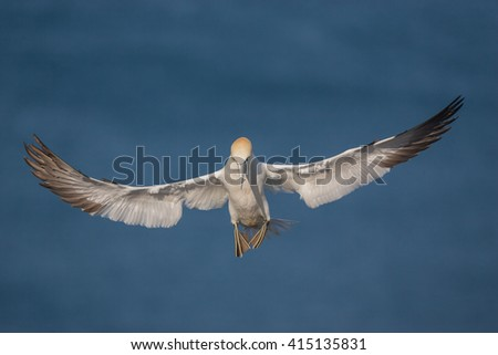 Northern Gannet in flight above the cliffs of Helgoland, flying bird in the morning light
