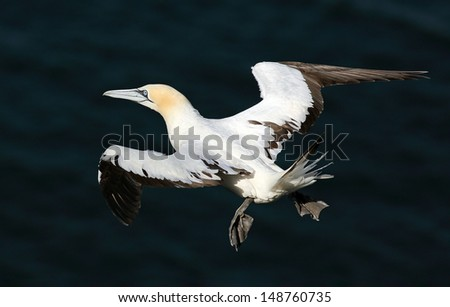 Northern Gannet in flight above the cliffs of Troup head, Scotland.