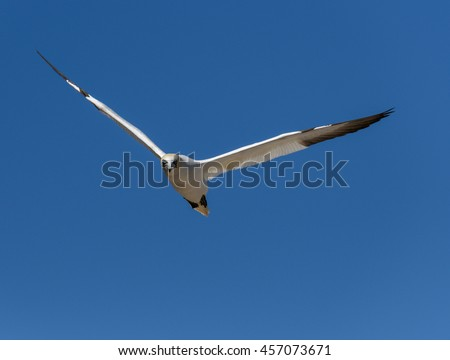 Northern Gannet in Flight on Blue Sky