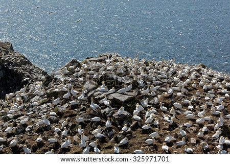 Northern gannet mating site. - stock photo