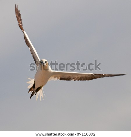 Northern gannet on approach