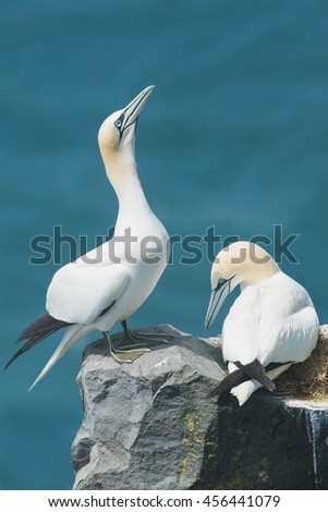 Northern Gannet standing on the edge of a cliff.