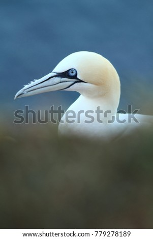 Northern Gannet. The North Sea. Helgoland. Photographed in the North Sea. The wild nature of the North Sea. Bird on the Rock.