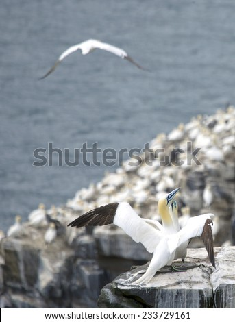 Northern gannets in Saint Mary Reserve, Newfoundland, Canada - stock photo