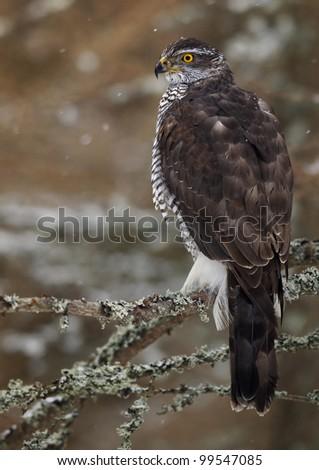 Northern Goshawk (Accipiter gentilis) - stock photo