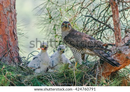Northern goshawk (Accipiter gentilis) at nest female and two chicks one of them swallows a leg of a bird. - stock photo