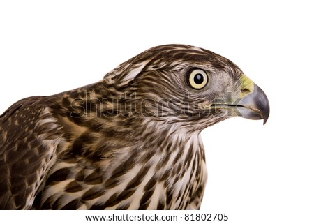 Northern goshawk (Accipiter gentilis) on white