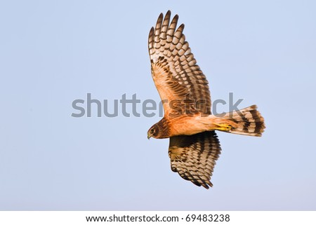 Northern harrier in flight at the blue sky - stock photo