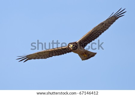 Northern harrier in frontal flight at the blue sky - stock photo