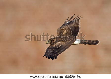 Northern harrier in profil flight - stock photo