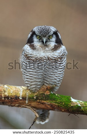 Northern Hawk-Owl portrait - stock photo