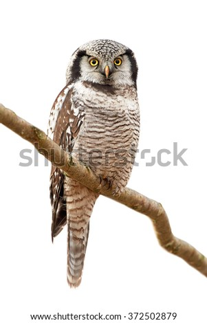 Northern Hawk Owl (Surnia ulula) resting on a branch on a white background