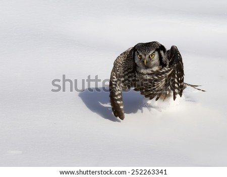 Northern Hawk Owl swoops down into the snow after prey.  Soft focus.  Winter in Wisconsin. - stock photo