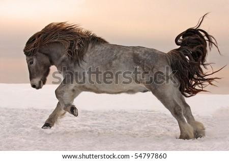 Northern horse from Yakutia - stock photo