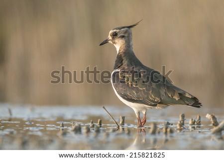 Northern lapwing (Vanellus vanellus) - stock photo