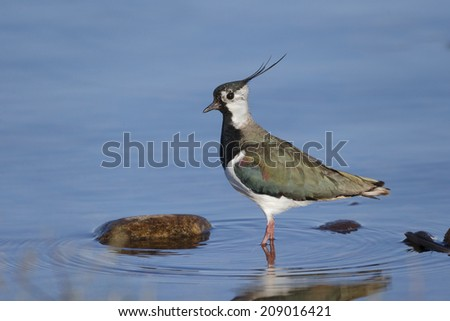 Northern lapwing, Vanellus vanellus, Single bird in water, Highlands, Scotland, May 2014                     - stock photo