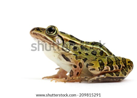 Northern Leopard Frog (Lithobates pipiens) - stock photo