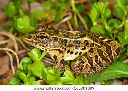 Northern Leopard Frog (Rana pipiens) at Lib Conservation Area in northern Illinois - stock photo