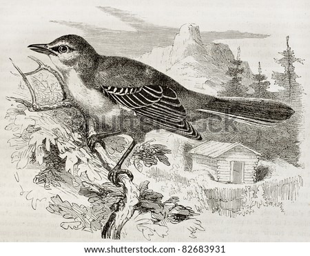 Northern Mockingbird old illustration (Mimus Polyglottos). Created by Kretschmer and Illner, published on Merveilles de la Nature, Bailliere et fils, Paris, 1878 - stock photo