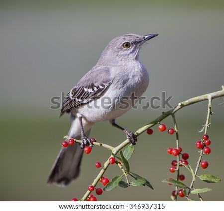 Northern Mockingbird on Berry Laden Branch - stock photo