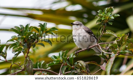 Northern Mockingbird Portrait